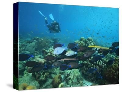 Diver Watching Blue Tangs, Doctorfish, Ocean Surgeonfish in a Reef-George Grall-Stretched Canvas Print