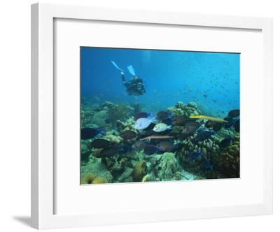 Diver Watching Blue Tangs, Doctorfish, Ocean Surgeonfish in a Reef-George Grall-Framed Photographic Print