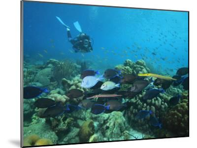 Diver Watching Blue Tangs, Doctorfish, Ocean Surgeonfish in a Reef-George Grall-Mounted Photographic Print