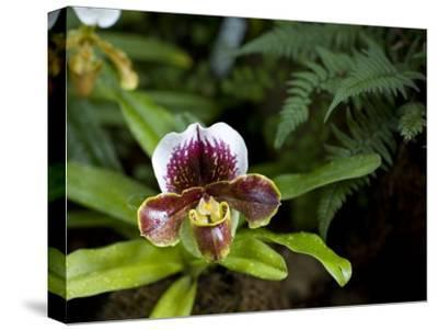 Lady's Slipper Orchid at the Botanic Garden-David Evans-Stretched Canvas Print