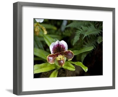 Lady's Slipper Orchid at the Botanic Garden-David Evans-Framed Photographic Print