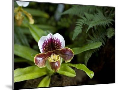 Lady's Slipper Orchid at the Botanic Garden-David Evans-Mounted Photographic Print
