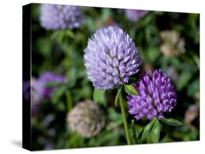 Purple Clover Flowers-David Evans-Stretched Canvas Print