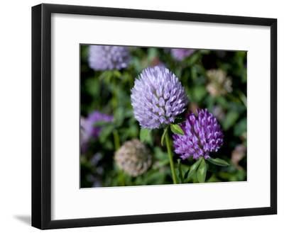 Purple Clover Flowers-David Evans-Framed Photographic Print