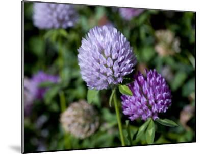 Purple Clover Flowers-David Evans-Mounted Photographic Print