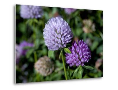 Purple Clover Flowers-David Evans-Metal Print