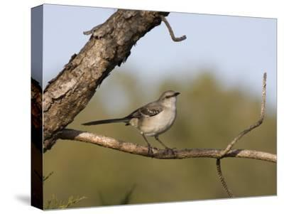 Portrait of a Mockingbird, Florida's State Bird-Marc Moritsch-Stretched Canvas Print