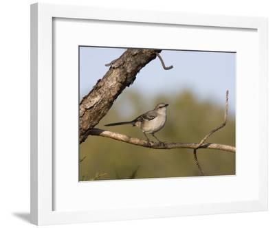 Portrait of a Mockingbird, Florida's State Bird-Marc Moritsch-Framed Photographic Print