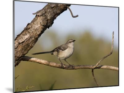 Portrait of a Mockingbird, Florida's State Bird-Marc Moritsch-Mounted Photographic Print