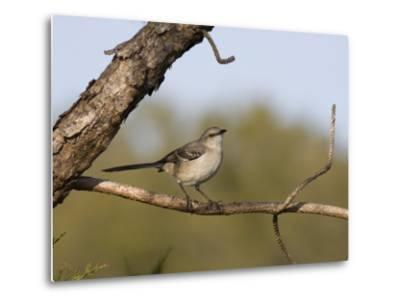 Portrait of a Mockingbird, Florida's State Bird-Marc Moritsch-Metal Print
