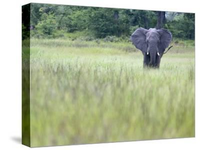 Feeding Elephant in the Grass with Ears Extended-Karine Aigner-Stretched Canvas Print