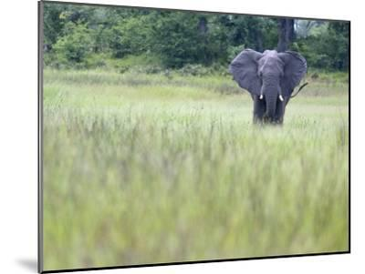 Feeding Elephant in the Grass with Ears Extended-Karine Aigner-Mounted Photographic Print