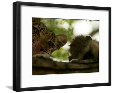 Leopard (Panthera Pardus) in Tree with Kill-Beverly Joubert-Framed Photographic Print