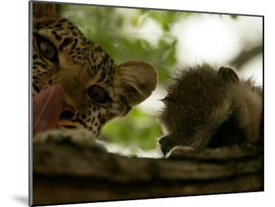 Leopard (Panthera Pardus) in Tree with Kill-Beverly Joubert-Mounted Photographic Print