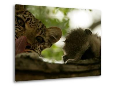 Leopard (Panthera Pardus) in Tree with Kill-Beverly Joubert-Metal Print