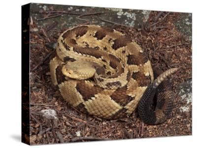 Timber Rattlesnake, Crotalus Horridus, Coiled and Ready to Strike-George Grall-Stretched Canvas Print