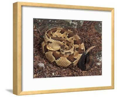 Timber Rattlesnake, Crotalus Horridus, Coiled and Ready to Strike-George Grall-Framed Photographic Print