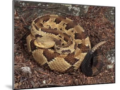 Timber Rattlesnake, Crotalus Horridus, Coiled and Ready to Strike-George Grall-Mounted Photographic Print