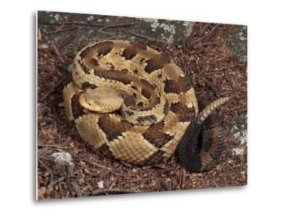 Timber Rattlesnake, Crotalus Horridus, Coiled and Ready to Strike-George Grall-Metal Print