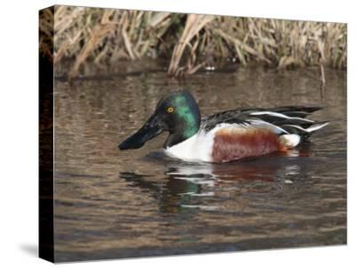 Northern Shoveler Duck Drake, Anas Clypeata, Dabbles in a Canal-George Grall-Stretched Canvas Print