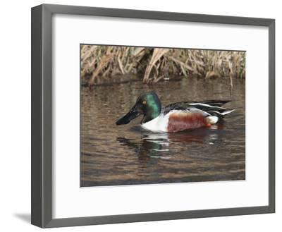 Northern Shoveler Duck Drake, Anas Clypeata, Dabbles in a Canal-George Grall-Framed Photographic Print
