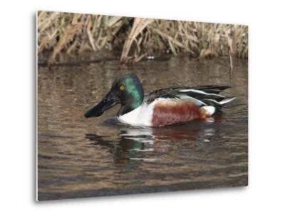 Northern Shoveler Duck Drake, Anas Clypeata, Dabbles in a Canal-George Grall-Metal Print