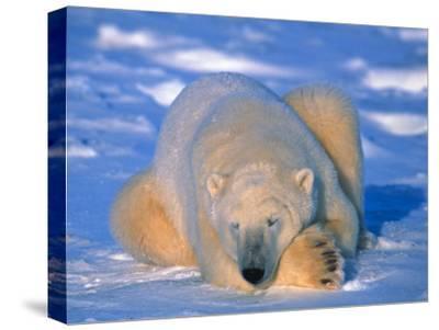 Polar Bear (Ursus Maritimus). Churchill, Manitoba Canada-Nick Norman-Stretched Canvas Print