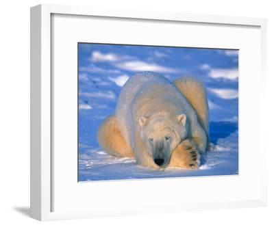 Polar Bear (Ursus Maritimus). Churchill, Manitoba Canada-Nick Norman-Framed Photographic Print