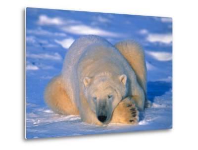 Polar Bear (Ursus Maritimus). Churchill, Manitoba Canada-Nick Norman-Metal Print