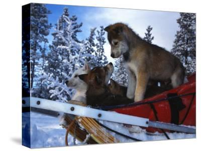 Siberian Husky Puppies Play on a Snow Sled-Nick Norman-Stretched Canvas Print