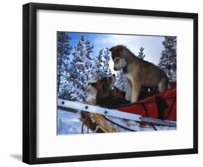 Siberian Husky Puppies Play on a Snow Sled-Nick Norman-Framed Photographic Print