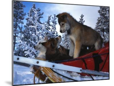 Siberian Husky Puppies Play on a Snow Sled-Nick Norman-Mounted Photographic Print