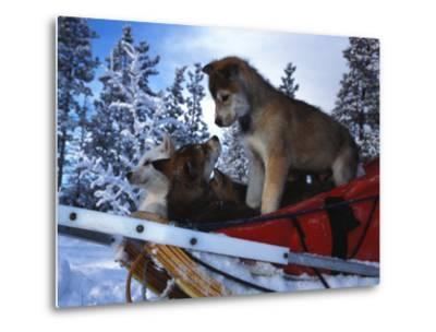 Siberian Husky Puppies Play on a Snow Sled-Nick Norman-Metal Print