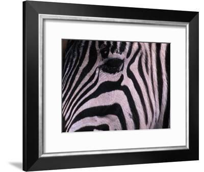 Detail of a Plains Zebra's Face-Nick Norman-Framed Photographic Print