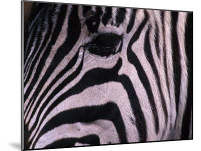 Detail of a Plains Zebra's Face-Nick Norman-Mounted Photographic Print