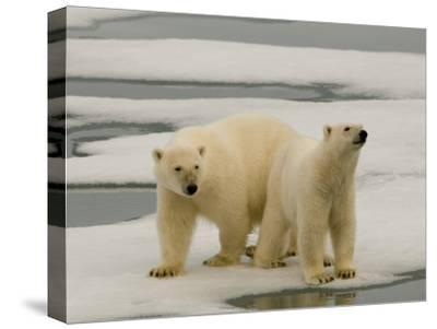 Two Polar Bears Stand on a Piece of Ice-Norbert Rosing-Stretched Canvas Print