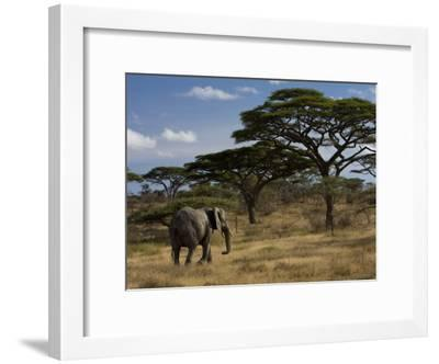 African Elephant Walks Among Acacia Trees-Ralph Lee Hopkins-Framed Photographic Print