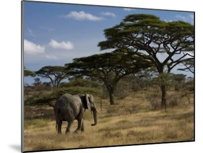 African Elephant Walks Among Acacia Trees-Ralph Lee Hopkins-Mounted Photographic Print