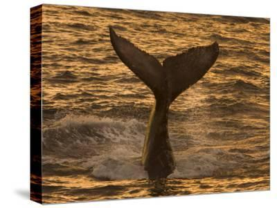 Whale Tail Splashes in the Sunset Light-Ralph Lee Hopkins-Stretched Canvas Print