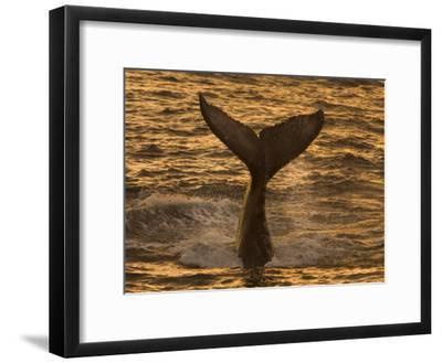 Whale Tail Splashes in the Sunset Light-Ralph Lee Hopkins-Framed Photographic Print
