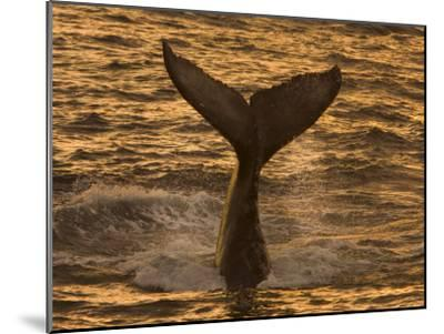 Whale Tail Splashes in the Sunset Light-Ralph Lee Hopkins-Mounted Photographic Print