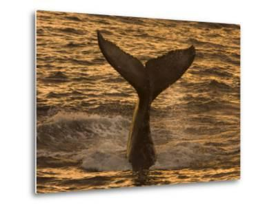 Whale Tail Splashes in the Sunset Light-Ralph Lee Hopkins-Metal Print
