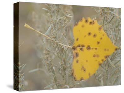 Close-up of Fall Leaf Caught in Grasses Near the Little Missouri River-Phil Schermeister-Stretched Canvas Print