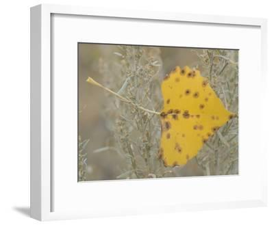 Close-up of Fall Leaf Caught in Grasses Near the Little Missouri River-Phil Schermeister-Framed Photographic Print