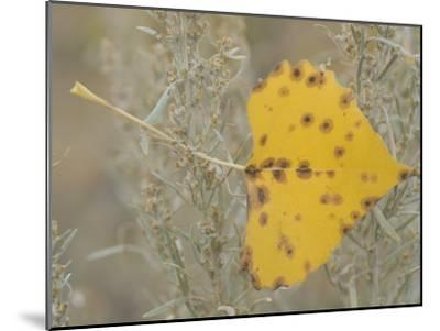 Close-up of Fall Leaf Caught in Grasses Near the Little Missouri River-Phil Schermeister-Mounted Photographic Print
