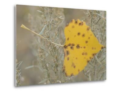 Close-up of Fall Leaf Caught in Grasses Near the Little Missouri River-Phil Schermeister-Metal Print
