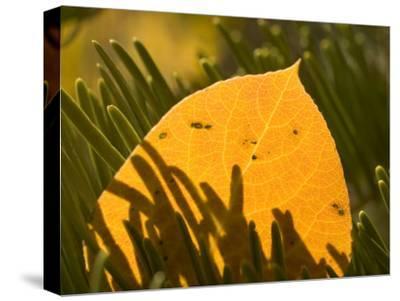 Close-up of Orange Quaking Aspen Leaf Backlit Among Pine Branches-Phil Schermeister-Stretched Canvas Print