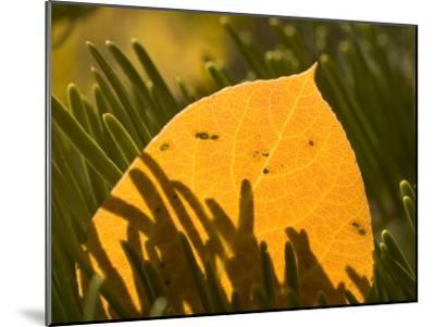 Close-up of Orange Quaking Aspen Leaf Backlit Among Pine Branches-Phil Schermeister-Mounted Photographic Print