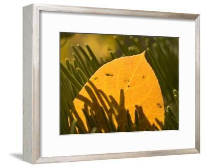 Close-up of Orange Quaking Aspen Leaf Backlit Among Pine Branches-Phil Schermeister-Framed Photographic Print