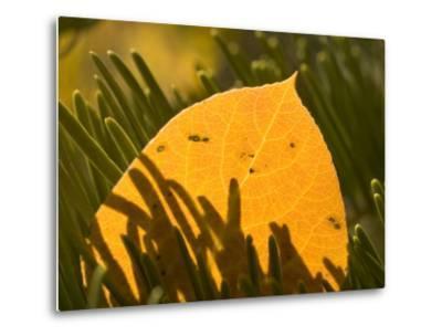 Close-up of Orange Quaking Aspen Leaf Backlit Among Pine Branches-Phil Schermeister-Metal Print